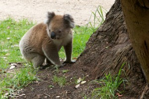 2011, Aire River, Australia, Camp Ground, East, eating leaves, Great Ocean Road, Gum tree, Koala, Nature, Overnight, Stop over, Victoria, West, Wild