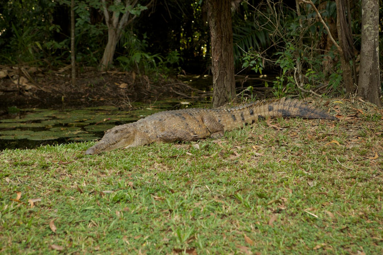 Freshwater Crocodile, NT
